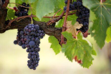 Zbliżenie na kiść ciemnych winogron